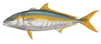 California Yellowtail, W/C (23 x 32)