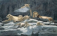 Lion About, oil (37 x 60)
